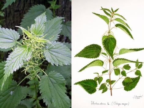 Foto de planta fresca e ilustración