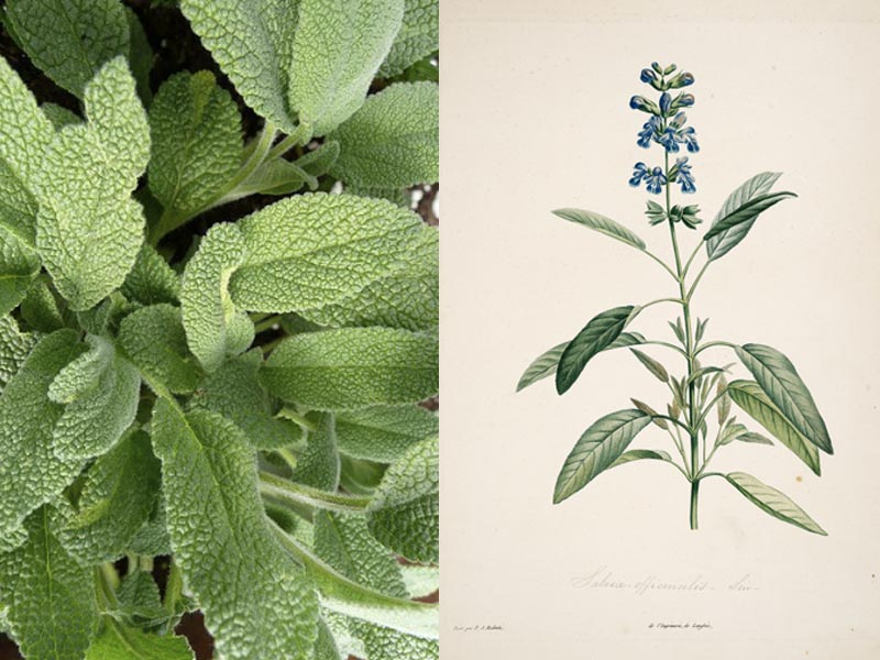 Salvia_officinalis