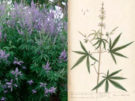 Sauzgatillo en flor y su ilustración botánica.